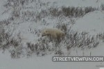 Polar bear found on Google Street View