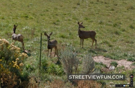 mule-deer-colorado