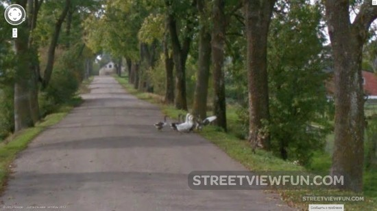 duckscrossingthestreet