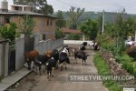 Cows stop Google Street View