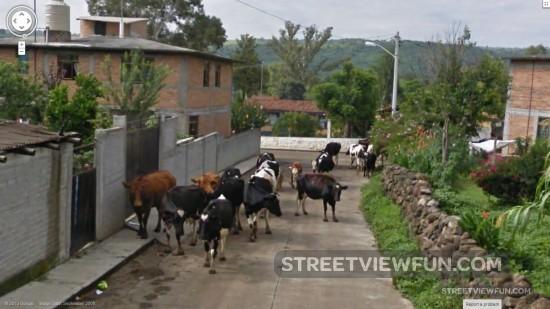 cowsstopgooglestreetview