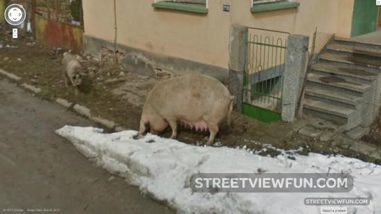 pigsbulgaria