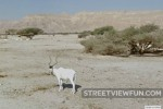 Addax - White Antelope in Israel