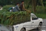 Riding on Sugarcane