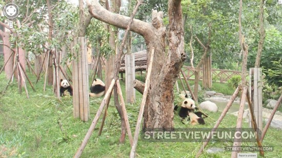 giant-panda-china3