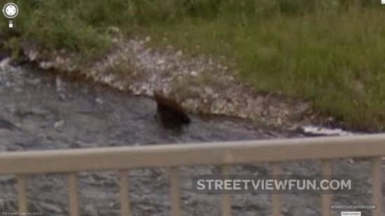 river-bear3