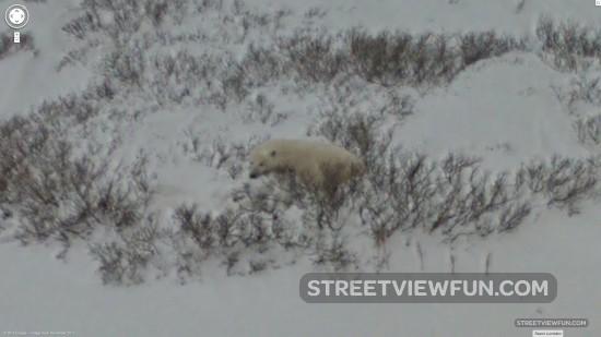 polar-bear-street-view