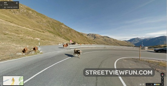 cows-crossing1