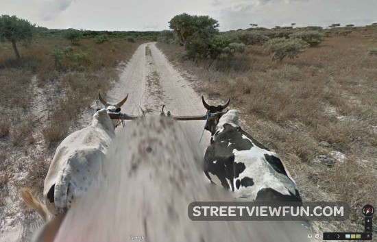 google-cow-view-madagascar