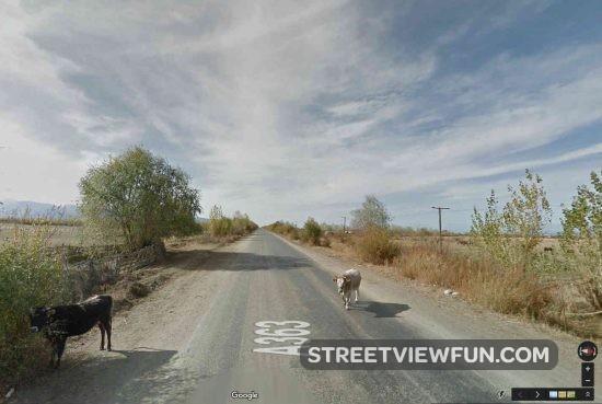 cows-kyrgyztan