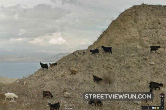 goats-kyrgyzstan